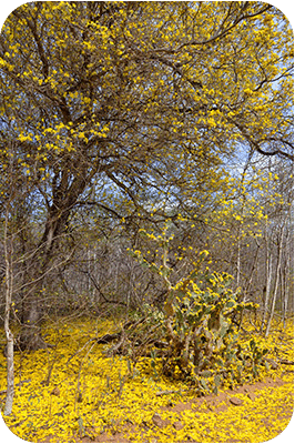 Within a day or two, the blossoms will fall to the ground, creating a yellow carpet of flowers.