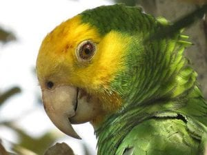 Bonaire's lora, the Yellow-Shouldered Amazon Parrot