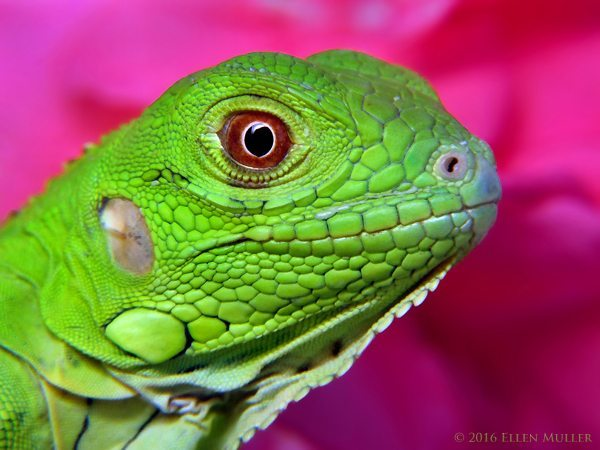 Baby Iguana with Pink Oleander background