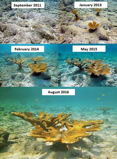 Bonaire's Coral Restoration Foundation has already transplanted 8000 new corals onto the reef.
