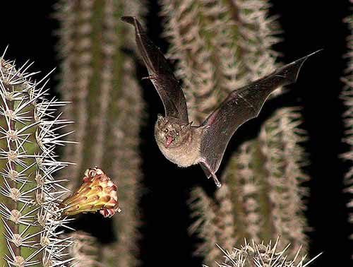 Many of Bonaire's bats pollinate the cactus.