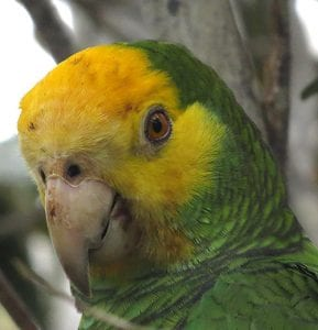 The Yellow-shouldered Amazon Parrot on Bonaire.