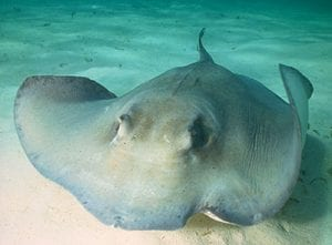 Sharks and rays on Bonaire are the subject of recent scientific research.