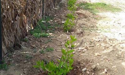 New plants to help turtles are planted at Bonaire's Te Amo Beach.