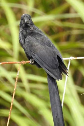Groove-billed Ani, seen at LVV.