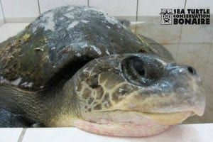 Please help save Nolly, a stranded sea turtle