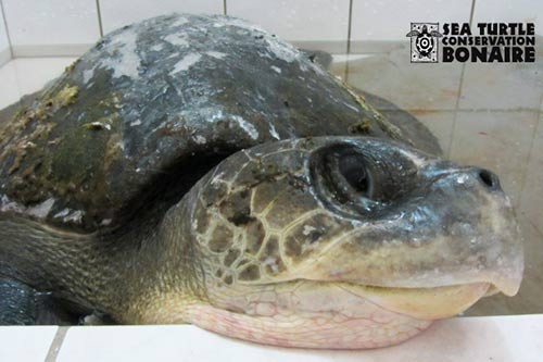 Please Help Nolly, a Stranded Olive Ridley Sea Turtle