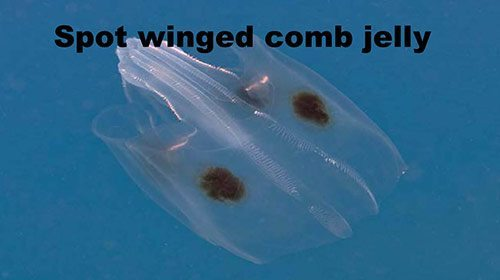 Precautionary Advisory for Jellies (Jellyfish) on Bonaire