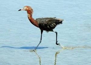 reddish egret hunting in the shallows on Bonaire