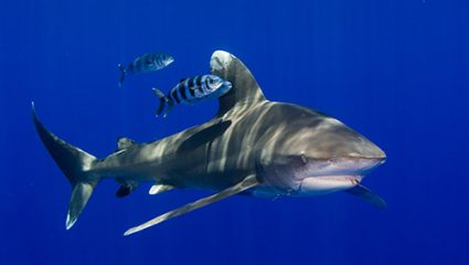 More protection for sharks in the Dutch Caribbean.