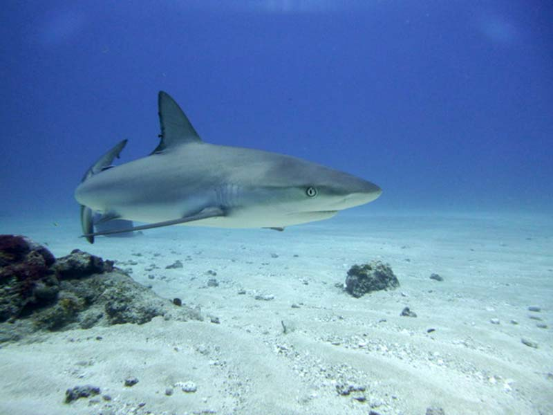 Sharks in the Dutch Caribbean; the Most Misunderstood Fish in the Sea