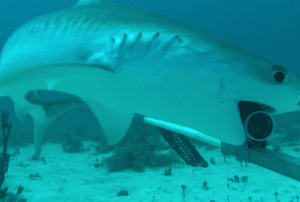 Shark research continues on Bonaire in September, 2017