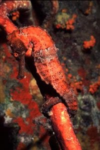 Red seahorse on a rope sponge on Bonaire.