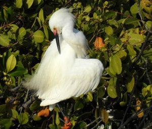 Snowy Egret in breeding plumage.