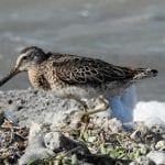 Join in the Count for World Shorebird Day, 2017