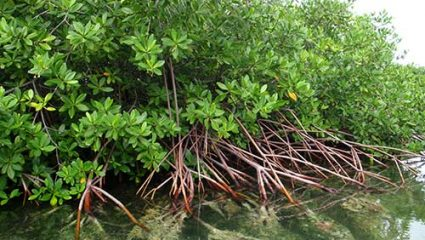 Bonaire's mangrove forests provide safe habitat for juvenile fish.