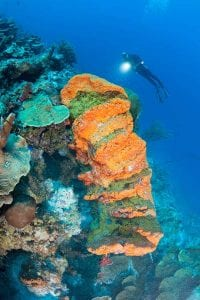 A large elephant ear sponge adorns a wall on one of Bonaire's reefs.