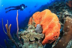 A diver inspects an orange elephant ear sponge on one of Bonaire's reefs.