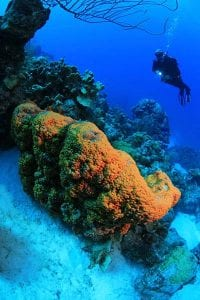 A diver explores an orange elephant ear sponge on Bonaire's reefs.