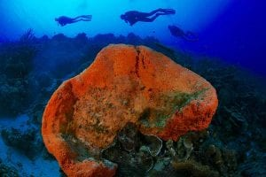Three divers are seen over an orange elephant ear sponge on Bonaire's reefs.