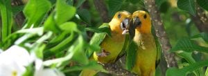 Brown-throated Parakeets on Bonaire.