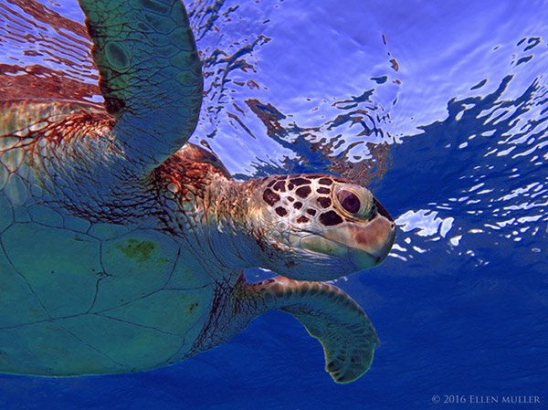 A green sea turtle, in Bonaire's waters; image by Ellen Muller