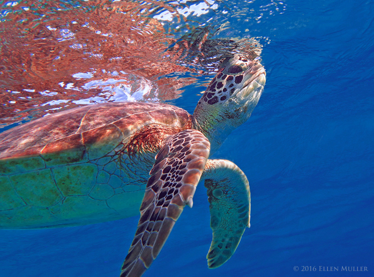 A green turtle swimming on Bonaire's reef, image by Ellen Muller.