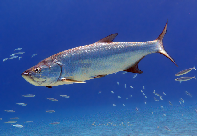 A tarpon, commonly found on Bonaire's reefs; image by Ellen Muller.