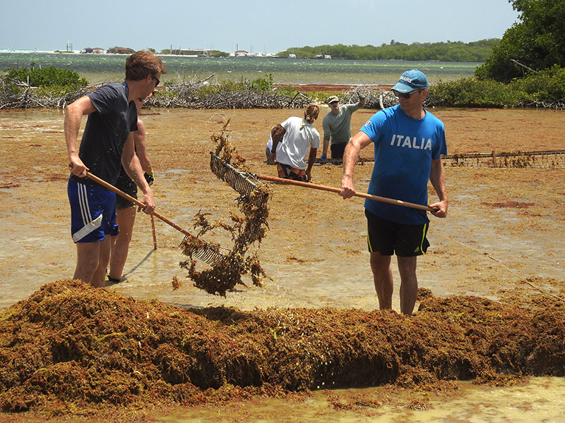 Removing seaweed from the area of the mangroves is a labor-intensive job.