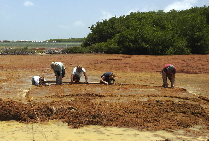Teams push the sargassum ashore for removal.