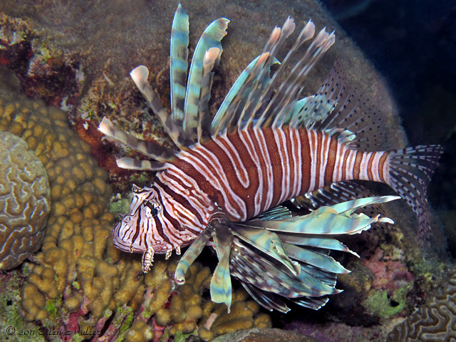 A lionfish patrols a reef on Bonaire (image by Ellen Muller).