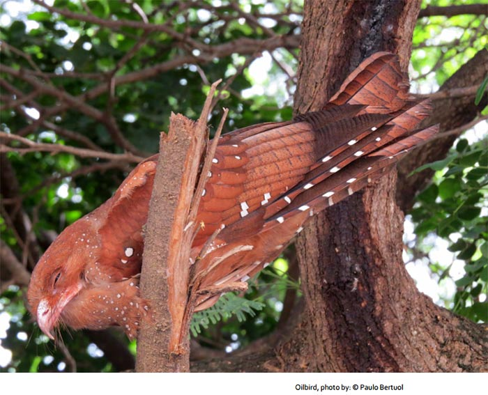 The only known sighting of an Oilbird on Bonaire, image by Paulo Bertual