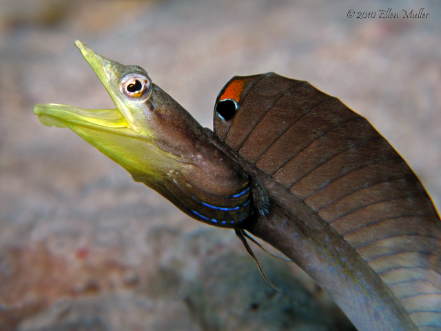 A pikeblenny on Bonaire's reef, image by Ellen Muller.