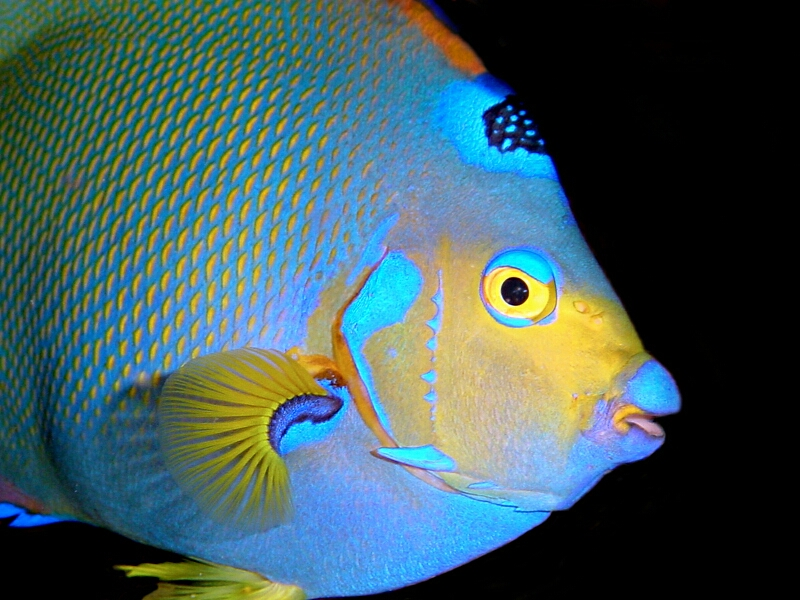 A Queen Angelfish, found on a Bonaire reef; image by Ellen Muller.