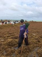 Volunteers sort through the seaweed, searching for live sea creatures caught within the confines of the Sargassum.