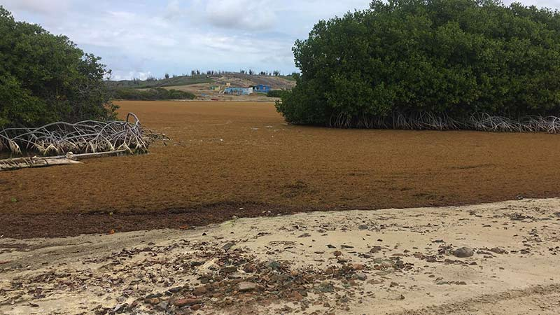 The Sargassum seaweed has blanketed the area of mangroves at Lagun, located on Bonaire's eastern coastline.