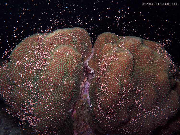 A star coral spawns on Bonaire's reefs.