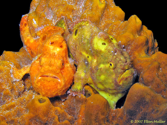 Two frogfish share a sponge on a Bonaire reef; image by Ellen Muller.