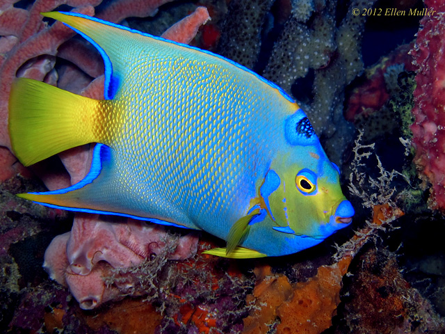 A Queen Angelfish on a Bonaire reef, image by Ellen Muller.