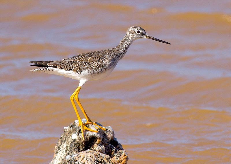 Greater Yellowlegs found in Cargill Salt Ponds on Bonaire, image by Jeff Gerbracht