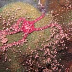 Coral Spawning 2019 Predictions for Bonaire