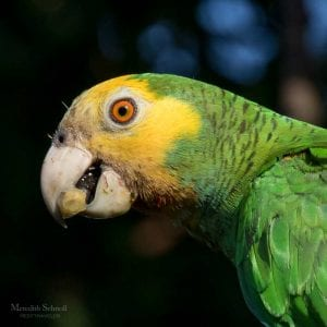 Bonaire's lora, the Yellow-shouldered Amazon Parrot.