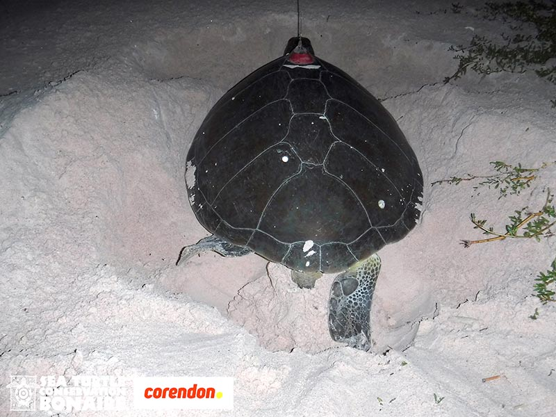 Green Sea Turtle, Bonni, Returns to Bonaire to Lay Another Nest