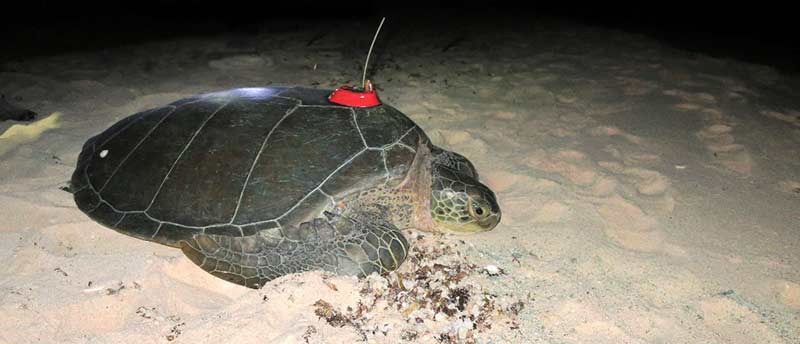 Green Sea Turtle, Bonni, is Fitted with Satellite Transmitter After Laying Nest on Bonaire