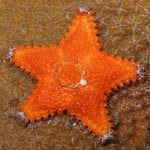 The Mini Sea Star, the Sea Creature You've Probably Never Encountered