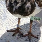 Finding Banded Birds on Bonaire During Migration Season