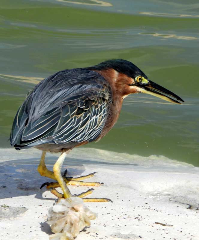 A green heron, found on Bonaire on the southern coastline.