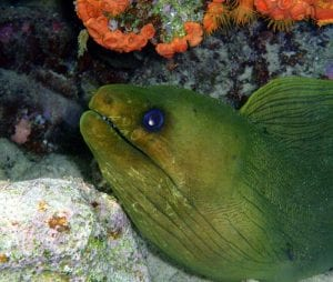 A green moray eel peers out from its crevice.