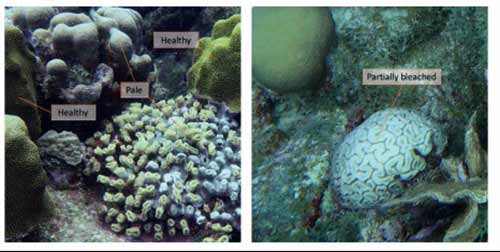 "Corals will ""bleach"" or lose their colors when stressed."