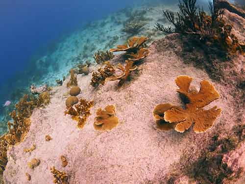 Outplanted Elkhorn corals at Carl's Hill, a dive site on Klein Bonaire; image courtesy of CRFB.